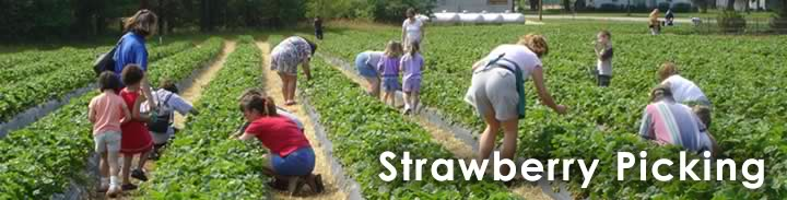 Strawberry Farm NC